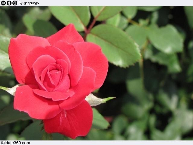 Potare le rose rampicanti o a cespuglio in vaso o in for Potare le rose