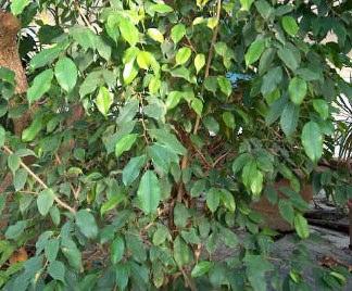 Potatura ficus benjamin for Ficus benjamin potatura