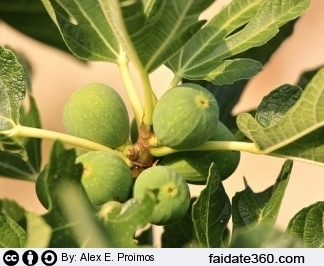 Potatura albero di fico