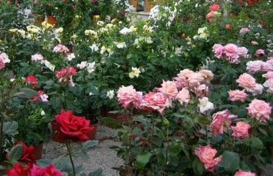 Fiori da giardino for Rose da giardino